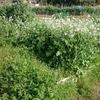 「どうしてこうなった?」大根や玉ねぎを植えたハズの畑がお花畑に