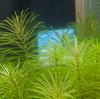 オキシドールで糸状藻を霧散