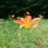 春と初夏に楽しむ山菜『カンゾウ』は本当に花もウマイのか!?