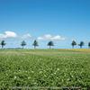 メルヘンの丘のジャガイモ畑