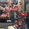 錦晃星の紅葉と花芽