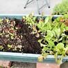 サラダ菜植え替え