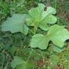 オカヒジキ、オカジュンサイ〜「岡**」と言われる植物たち