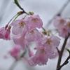 🌼谷中霊園で雨の中の桜と花を撮影しました🌸