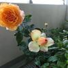 バラ開花。