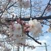 外国人に伝えたい「日本人はなぜ桜が好きなのか」