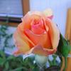 最近咲き始めたバラ達 ~その3~