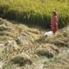 ネパ-ル滞在日記 第52回 ダサイン大祭以後の稲刈り