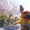 2020年・弘法山の桜が咲いたよー!
