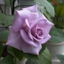 シャロンの薔薇