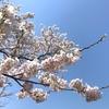 秋田の桜 満開!〜隠れ名所をご紹介〜