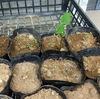 5月の種まき ダイソーの種エダマメリベンジ