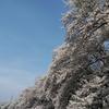 萌え桜〜舞い桜