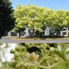 (456) Cinnamomum camphora