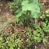 野菜づくり二年生 24 〜梅雨のじゃがいも掘り
