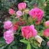 ☆お花 ばら🌹 紫陽花  & 猫 マンチカン