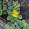 アゼトウナと岩  美々津海岸の花 その3