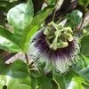 パッションフルーツ栽培:たくさん収穫するためのコツ