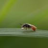 反芻するハチ