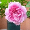 開花ラッシュ…4「メアリー・ローズ」