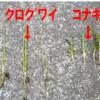 チェーン除草後の田んぼの確認です。稲は育つかな…