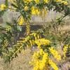 銀葉アカシアが咲きました
