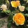 バラの冬の作業終わる♪ ご褒美トーマス✨愛用の資材とショップの紹介!