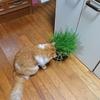 猫ちゃーの 猫草