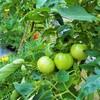 トマトの収穫&幼虫が!紅あずまのツル返し!