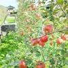 シナノスイートの収穫最盛