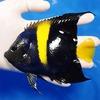 【現物5】アズファー 14cm± 海水魚 ヤッコ 餌付け!15時までのご注文で当日発送【ヤッコ】