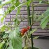ミニトマトの収穫期(一期分)
