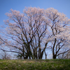 自然樹形が美しいエドヒガン
