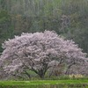【エクストリーム出社】初山別村豊岬にある一本桜を撮影したのち岬の湯で朝風呂に入る日