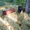 抗生物質不使用の畜産物がアツい