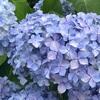紫陽花の季節に思い出すこと。痛みはなくなれど、消えない記憶に心揺れる。