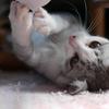 マジ?テレワークで溜まったストレスを飼い猫にぶちまけた営業職の話