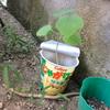 オクラを種から水だけで育ててみたんだが。