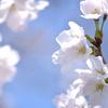 今年は花の開花が遅くって、本当にヤキモキさせられた春ですよね(=゚ω゚)ノ