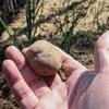 33day:ジャガイモの植え付けしました。