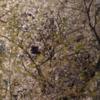 毎年眺める桜