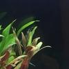 60cm水槽にヤマトヌマエビを投入