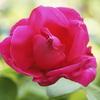 まだ一番花が・・・マリアカラス