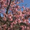 河津桜が満開・・ グリーンピア春日井