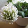 クローバーの花が咲くまでの過程