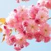 大阪で桜の開花宣言!2017年は平年より遅い3月30日