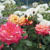 新緑の信州旅行:地元の人と作り上げた素敵なバラ公園