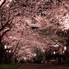 千葉でライトアップされた夜桜を見よう