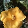 2/20  これは一月中頃に咲いたハイビスカスです。