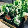 暑くなり始めたら、夏野菜の苗の植え時だね![プランター菜園]
